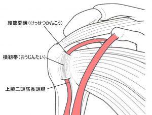 上腕二頭筋長頭腱の構造